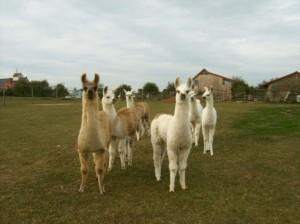 Alb-Lamas Verkaufstiere